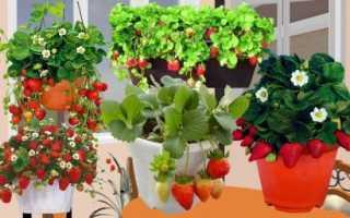 Выращивание клубники в домашних условиях