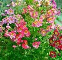 Схизантус: выращивание