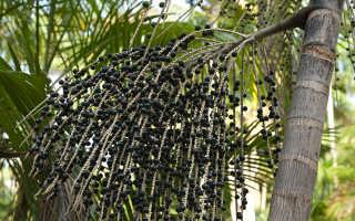 Ягоды асаи – полезные свойства