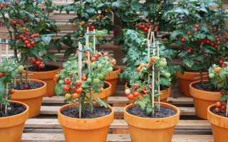Помидоры черри: выращивание в домашних условиях