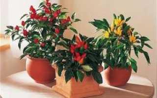 Как посадить перец огонек дома из семян