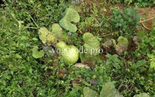 Выращивание лагенарии
