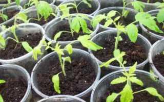 Желтеют листья у помидоров