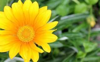 Гацания: выращивание из семян в домашних условиях