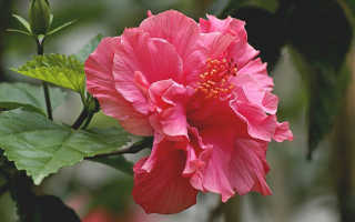 Приметы: китайская роза в доме