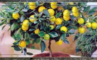 Лимон – уход в домашних условиях