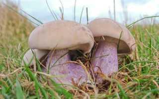 Как пожарить грибы синяя ножка рецепты