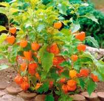 Физалис: выращивание и уход