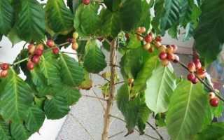 Кофейное дерево — выращивание в домашних условиях