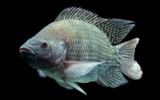 Рыба тилапия: польза и вред