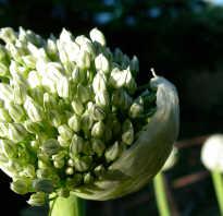 Как получить семена лука