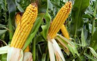 Когда собирать кукурузу