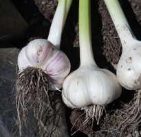 Озимый чеснок: выращивание и уход