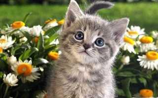 К чему снится серый котенок