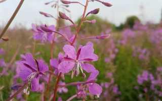 Иван чай – лечебные свойства и противопоказания