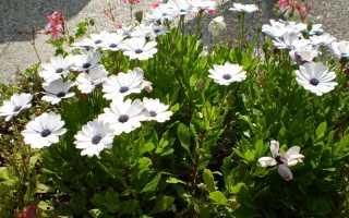 Остеоспермум: выращивание из семян в домашних условиях